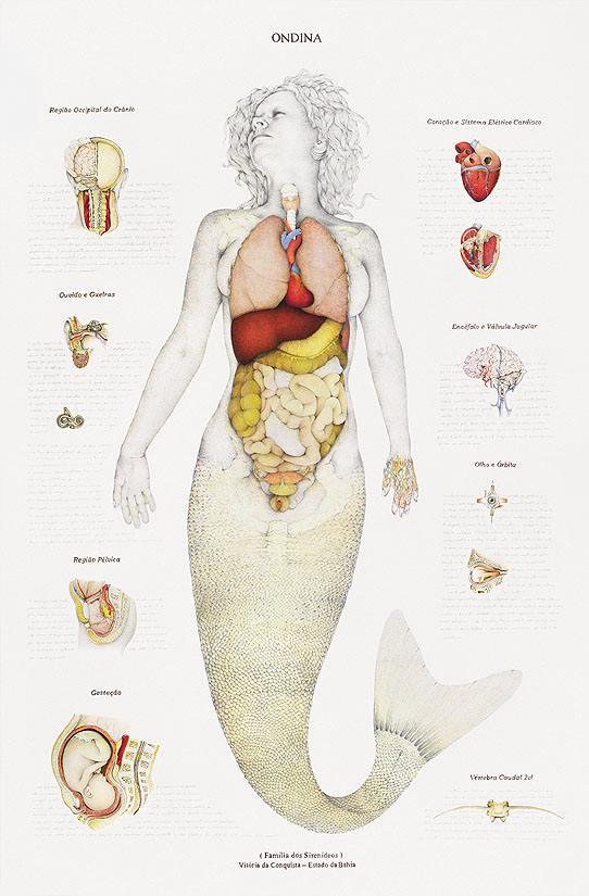 anatomia_sirena